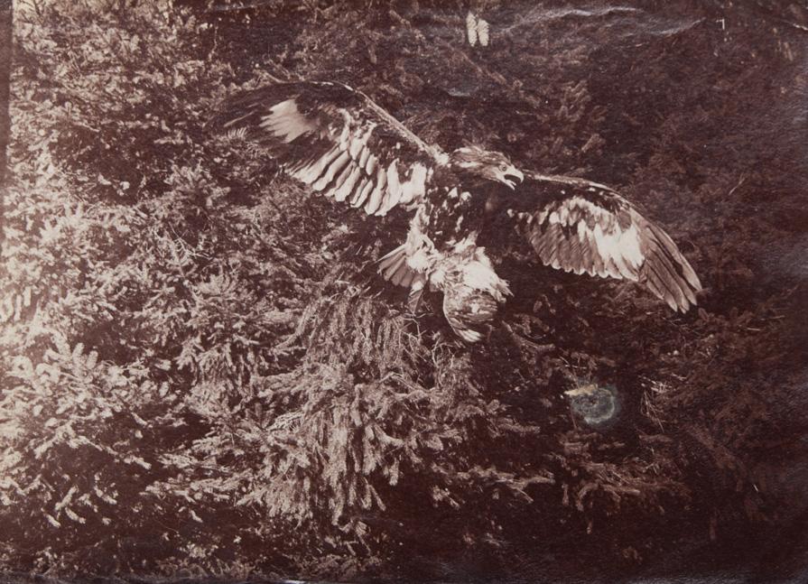 Eagle, ca. 1900